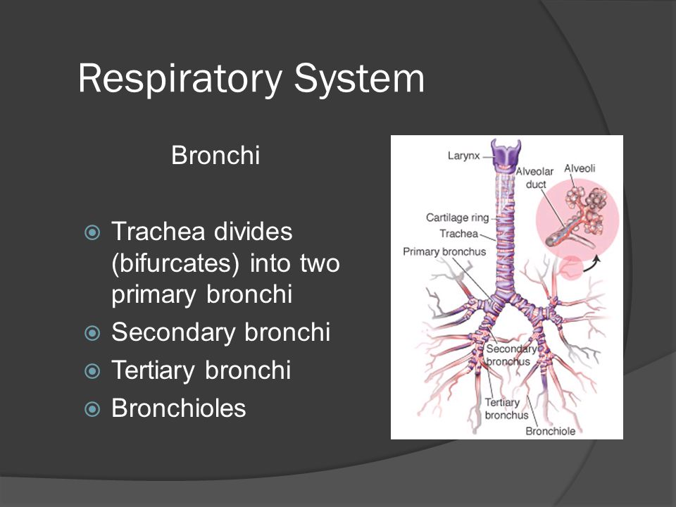 Respiratory System Bronchi
