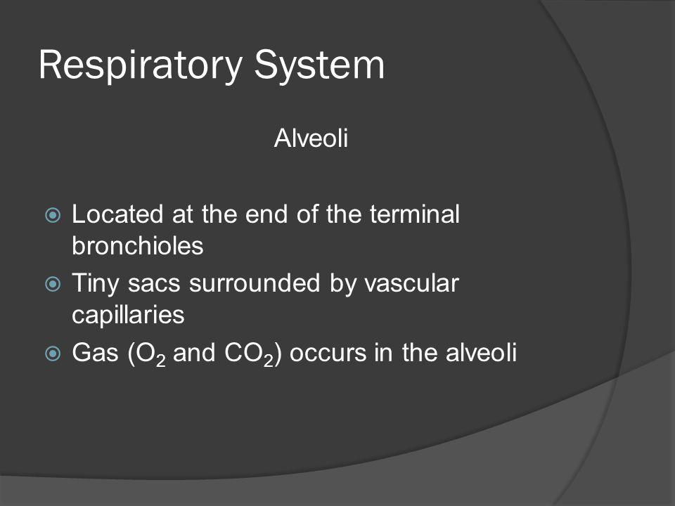 Respiratory System Alveoli