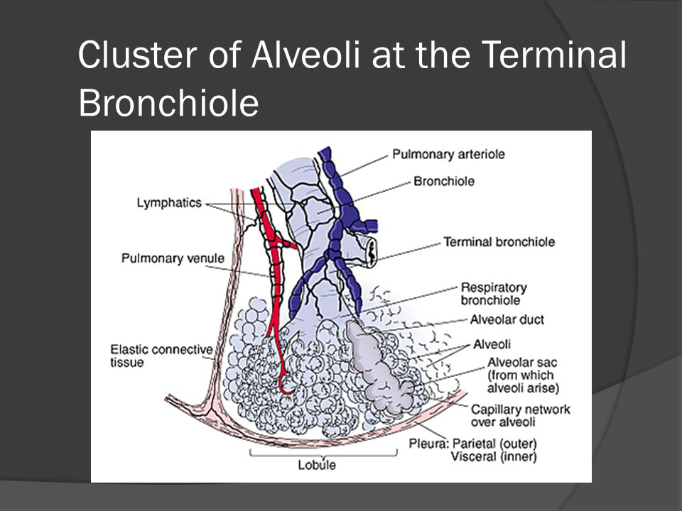 Cluster of Alveoli at the Terminal Bronchiole