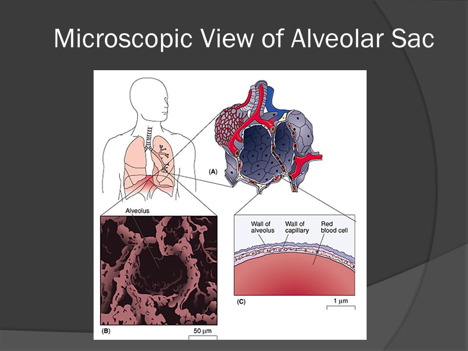 Microscopic View of Alveolar Sac