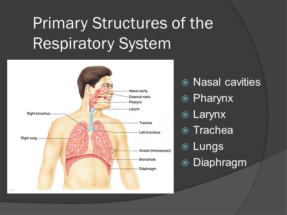 Primary Structures of the Respiratory System