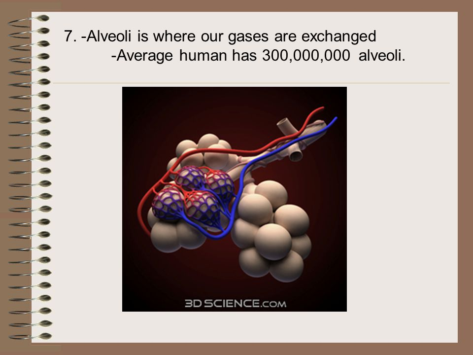 7. -Alveoli is where our gases are exchanged