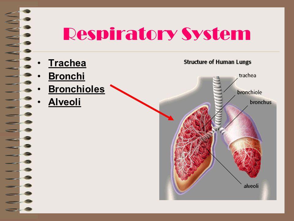 Respiratory System Trachea Bronchi Bronchioles Alveoli