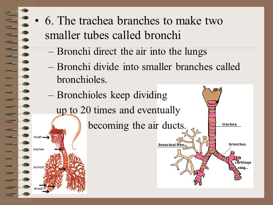 6. The trachea branches to make two smaller tubes called bronchi