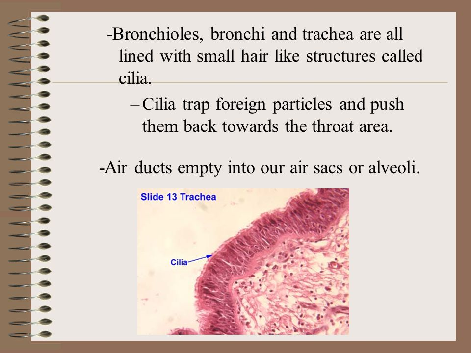 -Bronchioles, bronchi and trachea are all lined with small hair like structures called cilia.