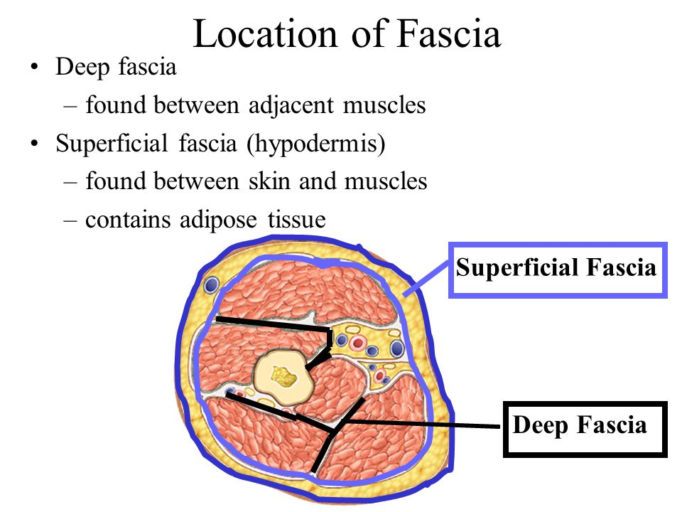 Location of Fascia Deep fascia found between adjacent muscles