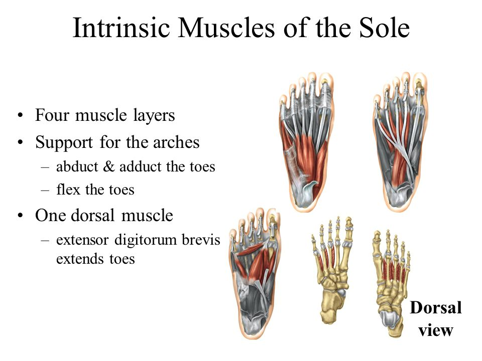 Intrinsic Muscles of the Sole