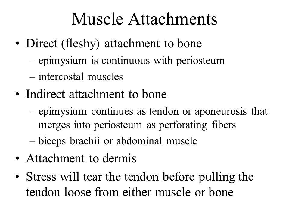 Muscle Attachments Direct (fleshy) attachment to bone