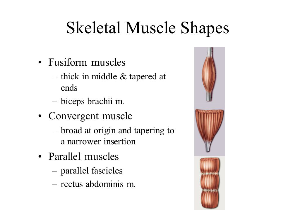 Skeletal Muscle Shapes