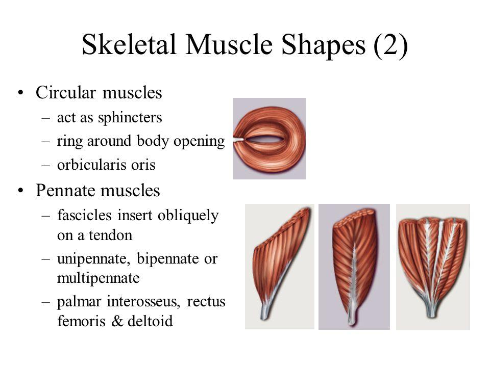 Skeletal Muscle Shapes (2)