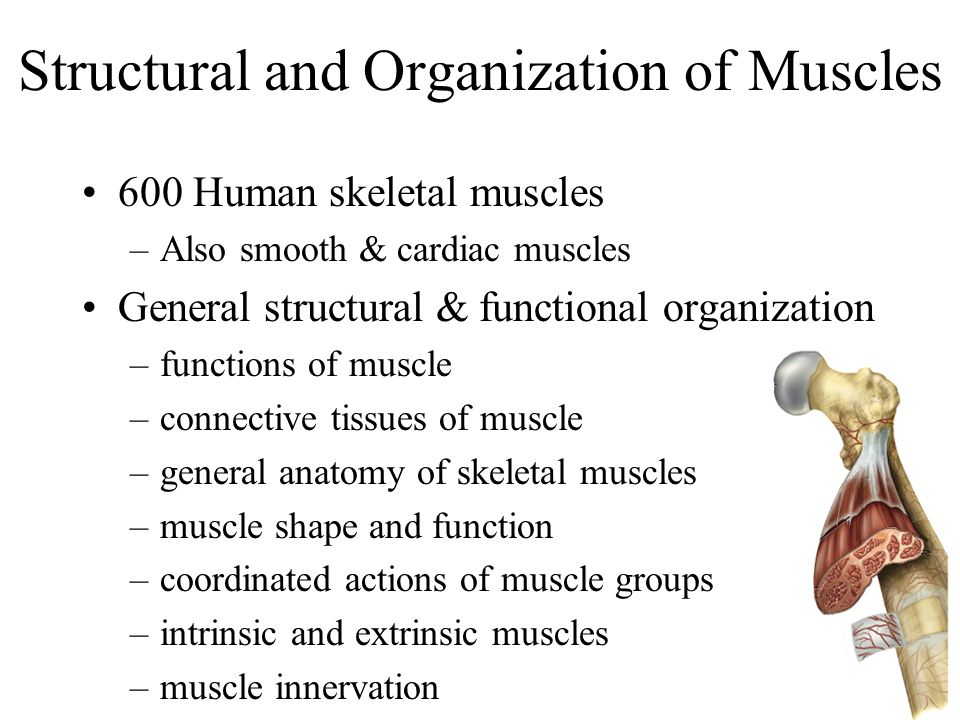 Structural and Organization of Muscles