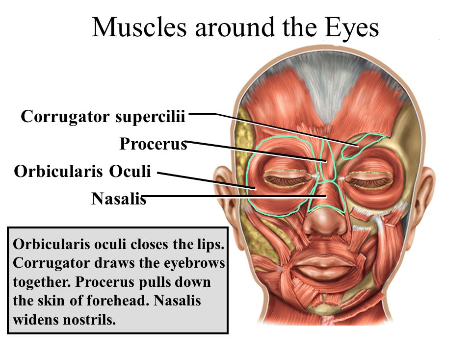 Muscles around the Eyes