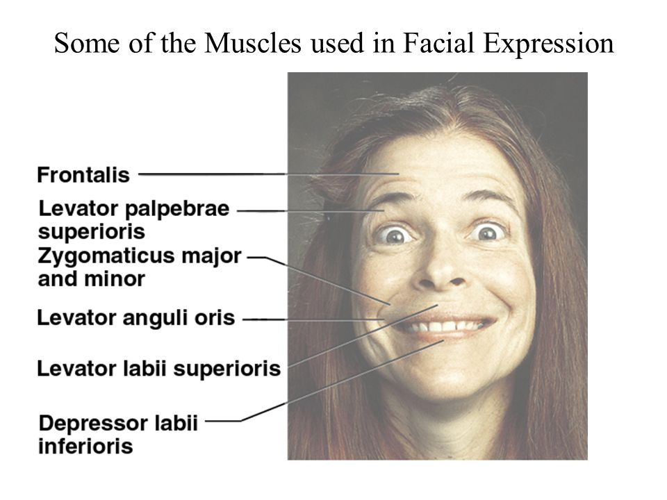 Some of the Muscles used in Facial Expression