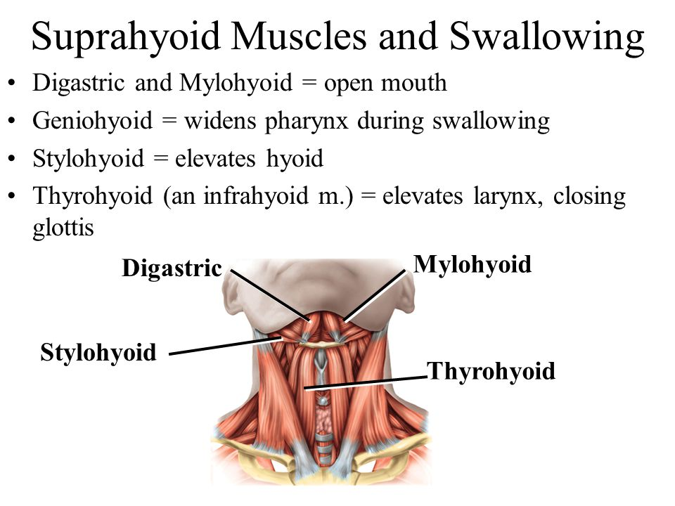 Suprahyoid Muscles and Swallowing