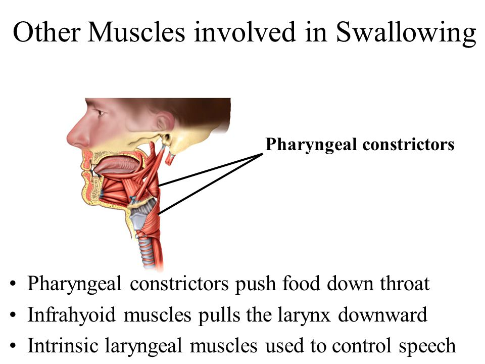 Other Muscles involved in Swallowing