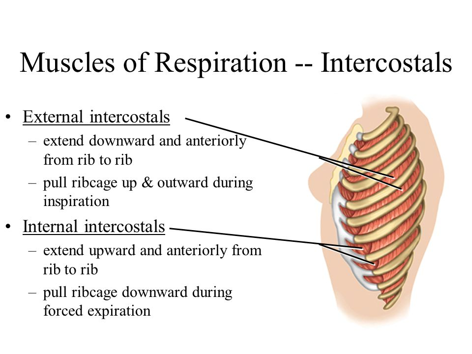 Muscles of Respiration -- Intercostals
