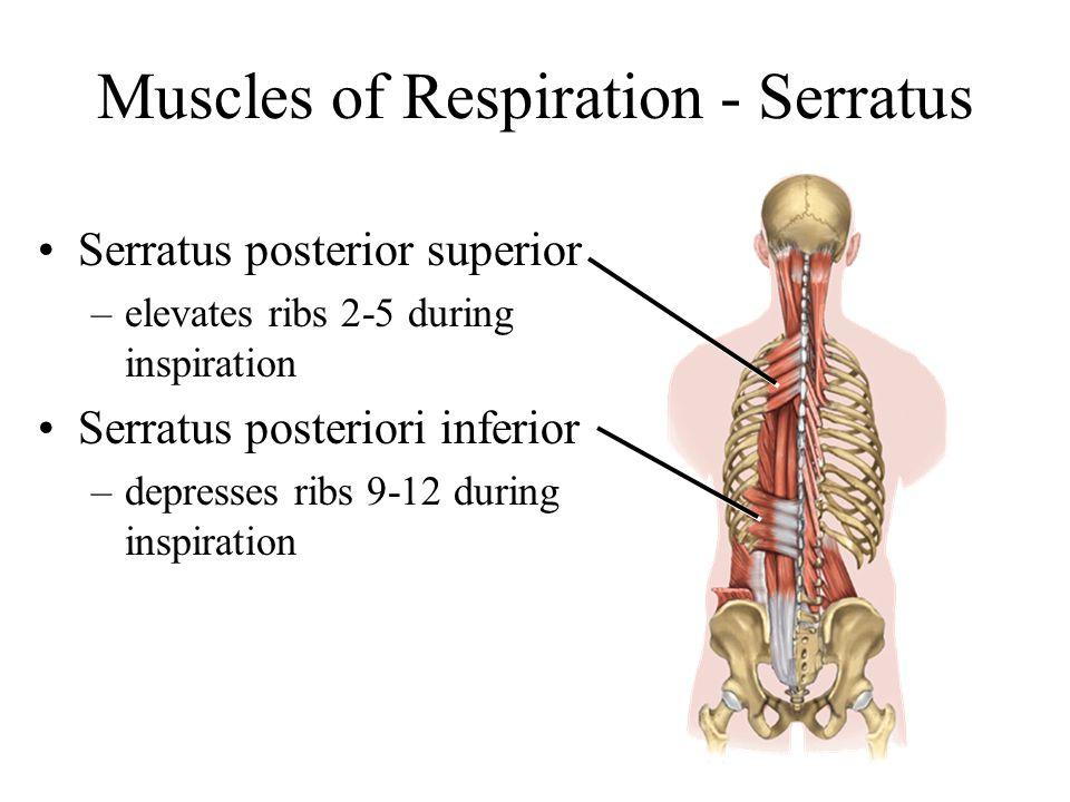 Muscles of Respiration - Serratus