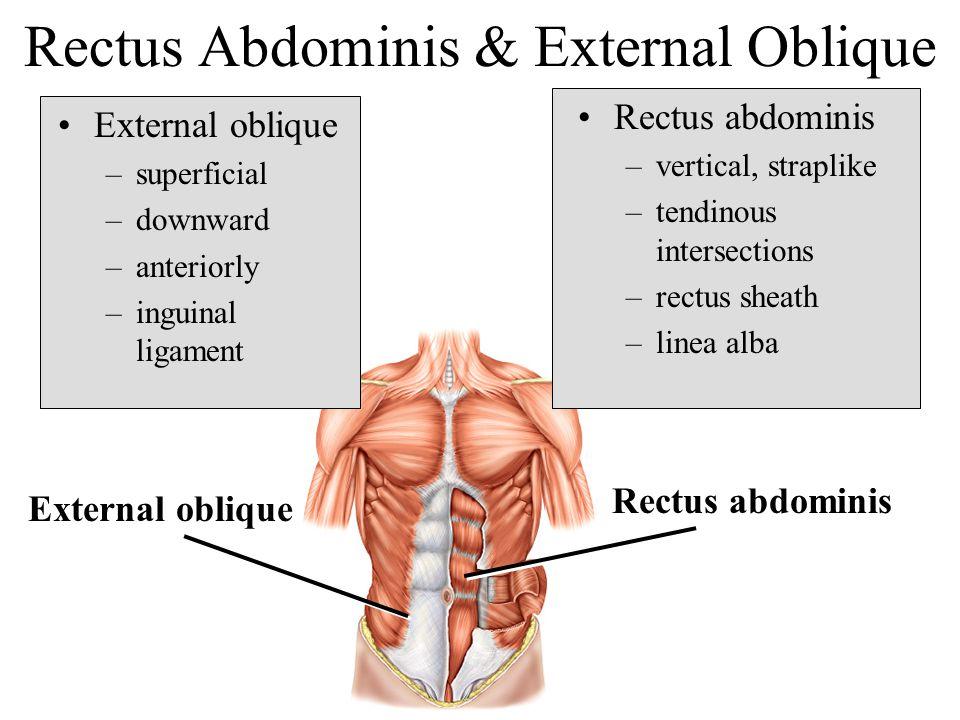 Rectus Abdominis & External Oblique