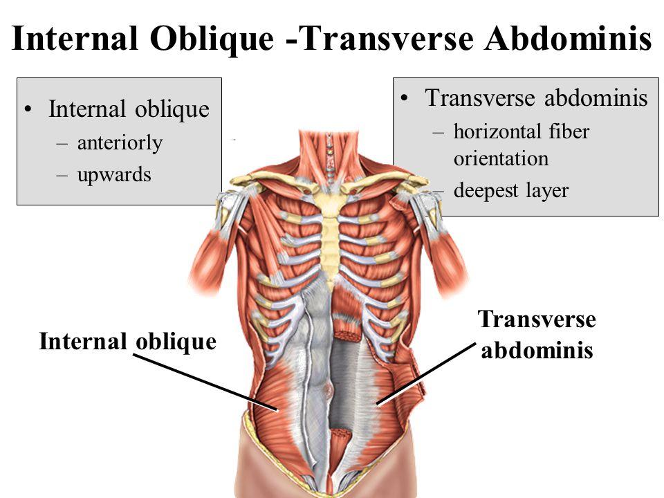 Internal Oblique -Transverse Abdominis