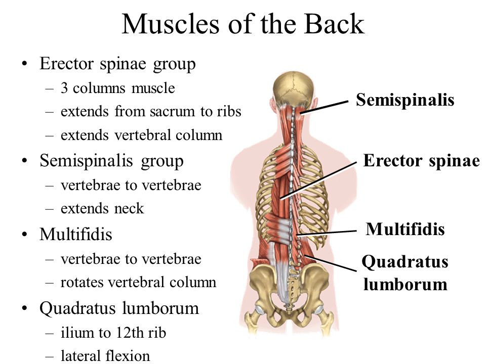 Muscles of the Back Erector spinae group Semispinalis