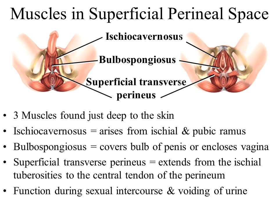 Muscles in Superficial Perineal Space
