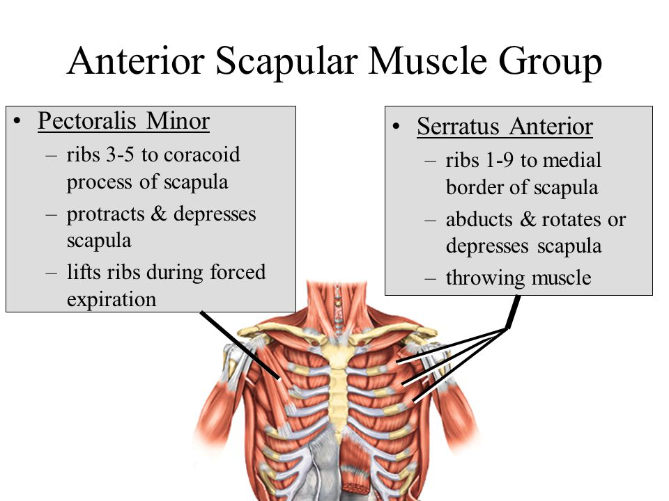 Anterior Scapular Muscle Group