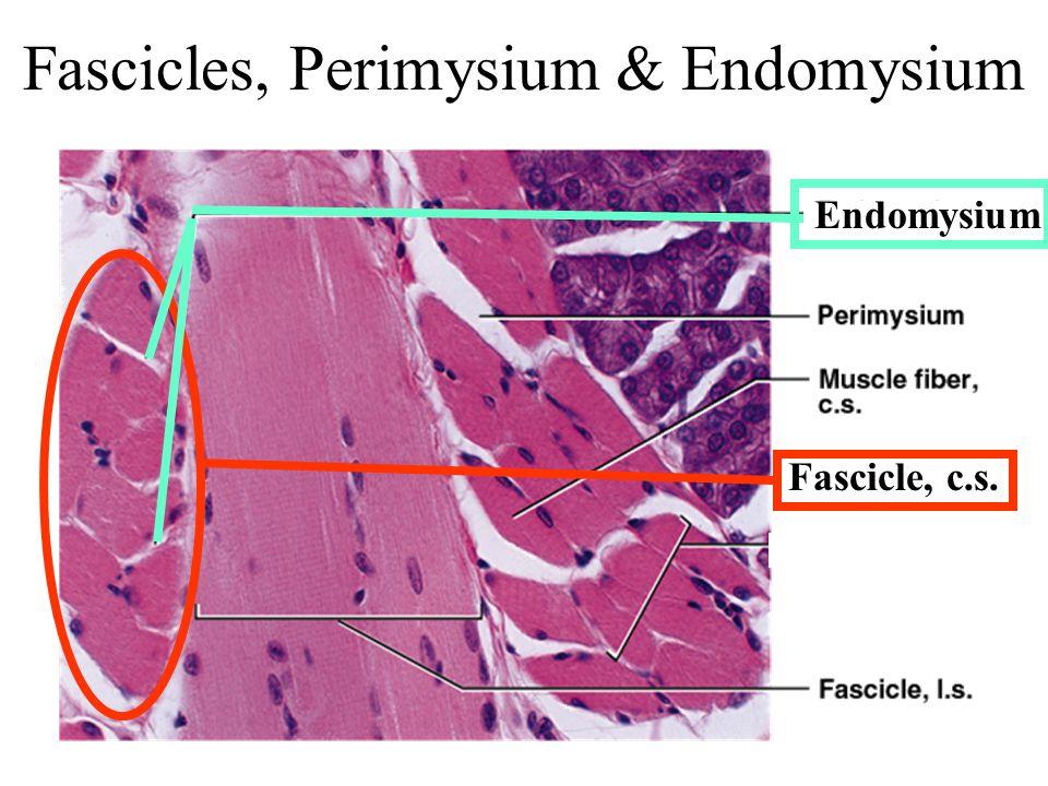 Fascicles, Perimysium & Endomysium