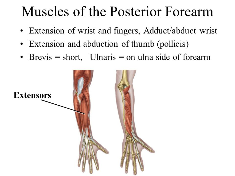 Muscles of the Posterior Forearm