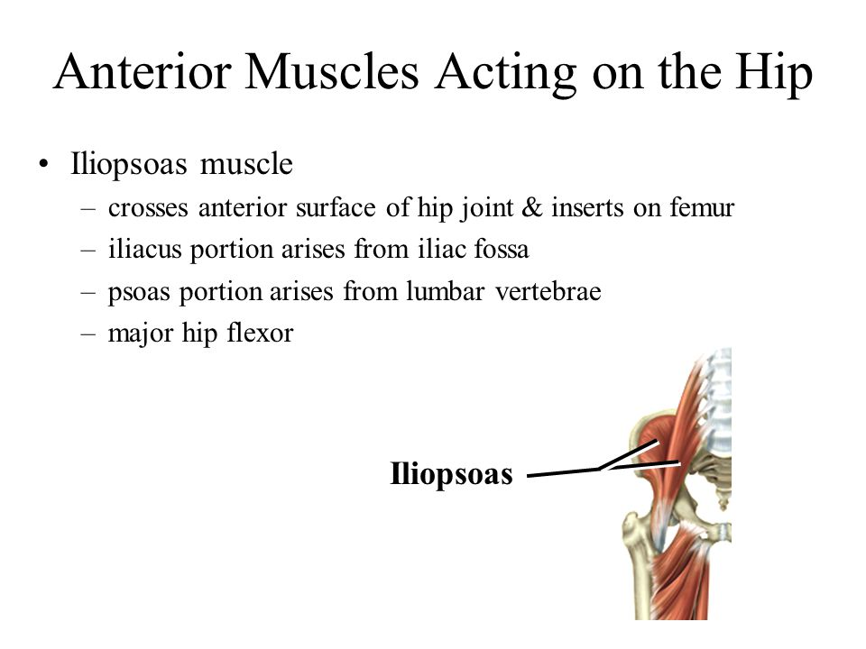 Anterior Muscles Acting on the Hip