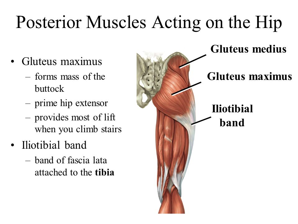 Posterior Muscles Acting on the Hip