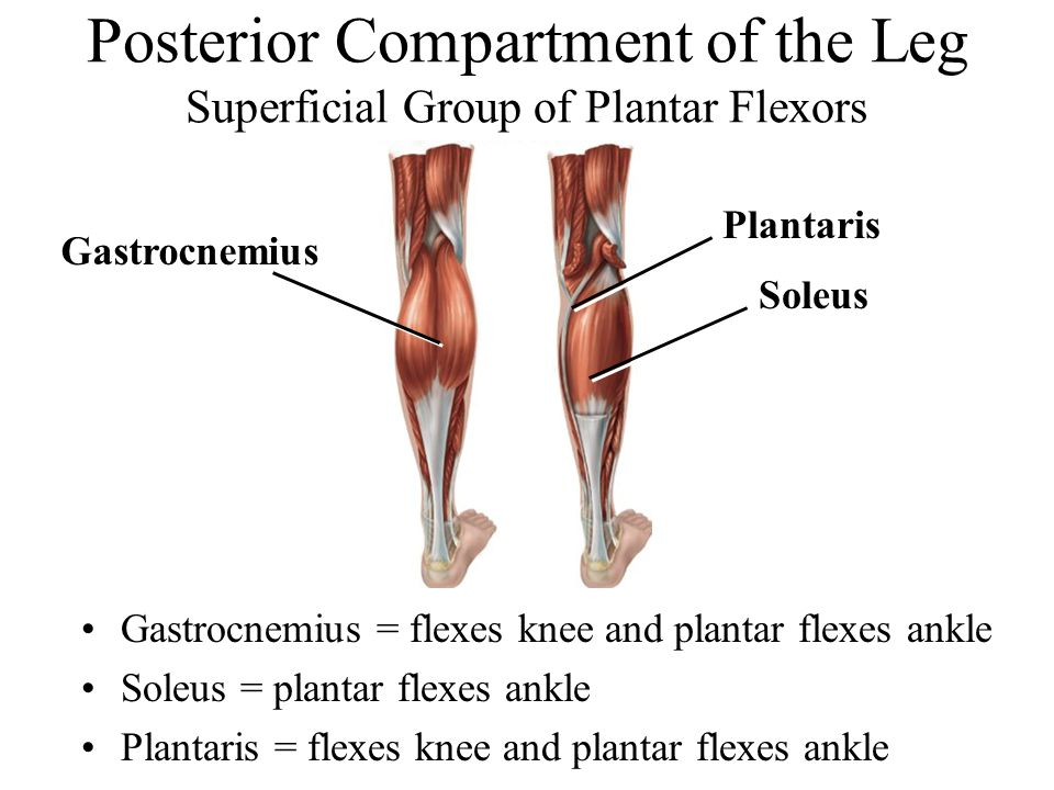Posterior Compartment of the Leg Superficial Group of Plantar Flexors