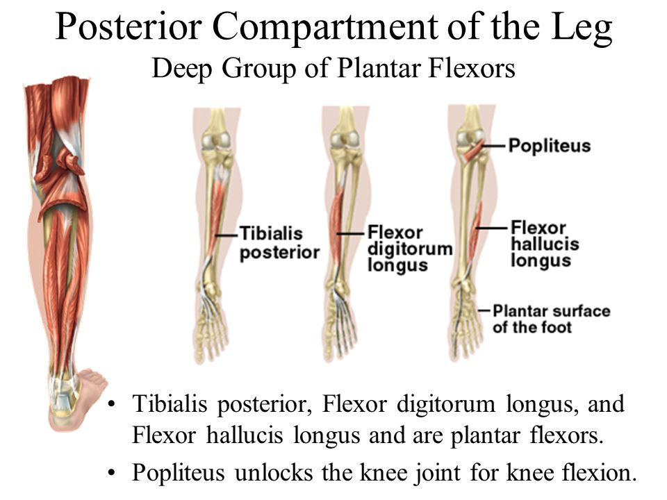 Posterior Compartment of the Leg Deep Group of Plantar Flexors