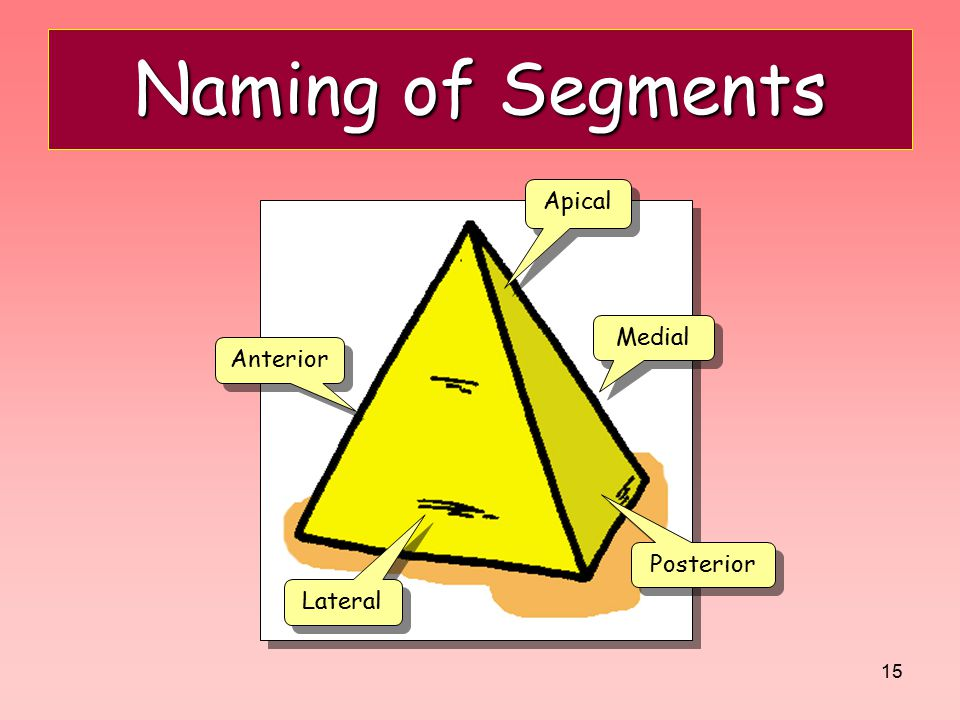 Naming of Segments Apical Medial Anterior Posterior Lateral