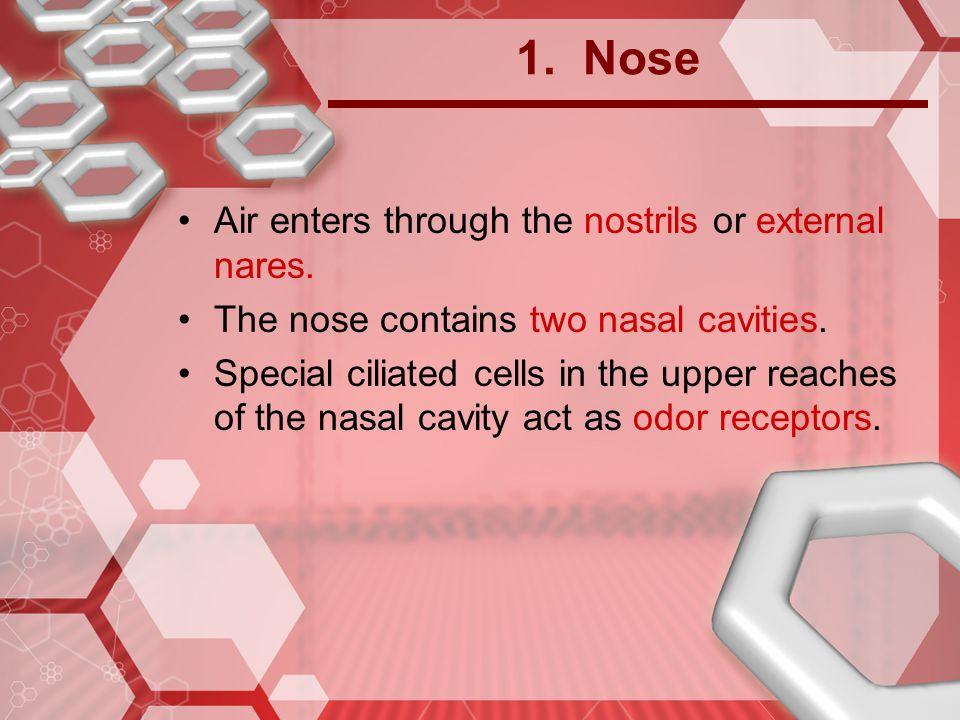 1. Nose Air enters through the nostrils or external nares.