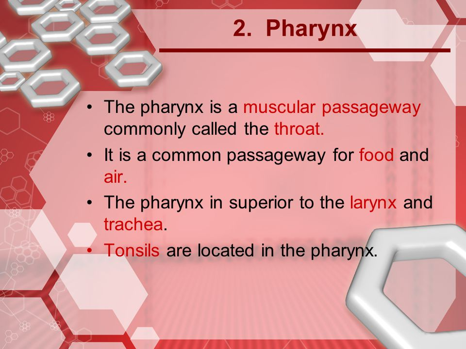 2. Pharynx The pharynx is a muscular passageway commonly called the throat. It is a common passageway for food and air.