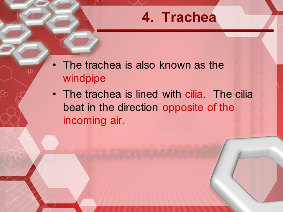 4. Trachea The trachea is also known as the windpipe