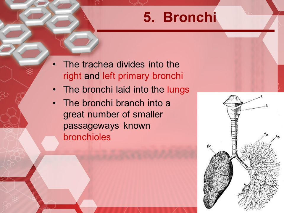 5. Bronchi The trachea divides into the right and left primary bronchi