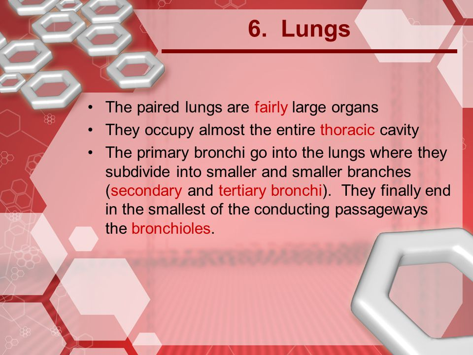 6. Lungs The paired lungs are fairly large organs