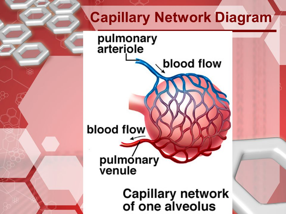 Capillary Network Diagram