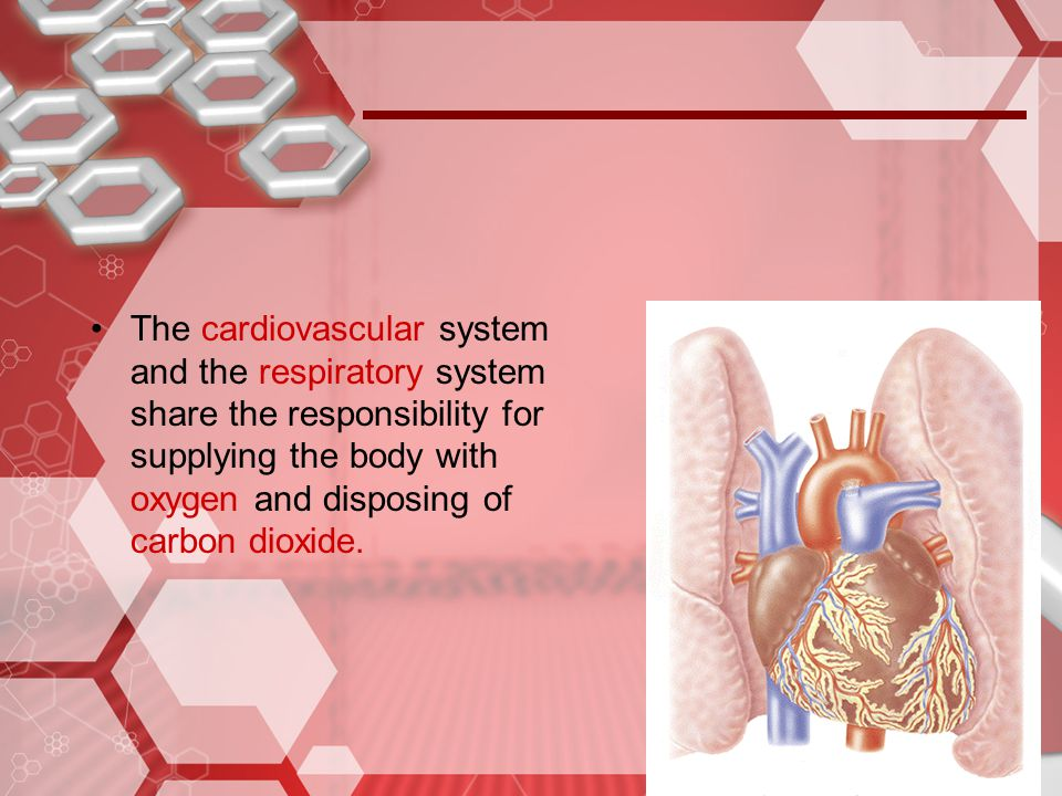 The cardiovascular system and the respiratory system share the responsibility for supplying the body with oxygen and disposing of carbon dioxide.