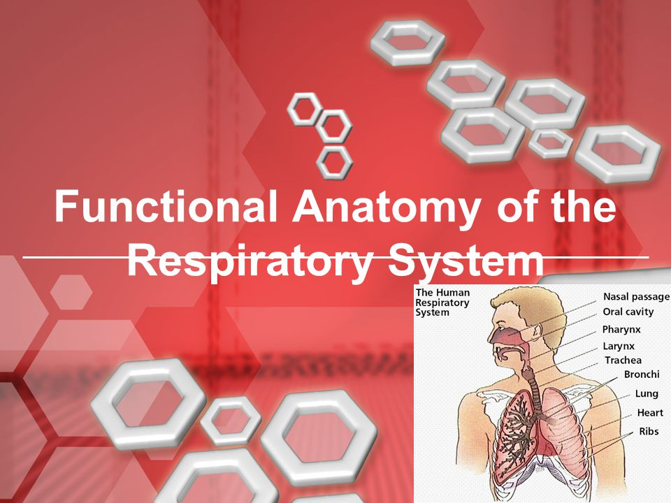 Functional Anatomy of the Respiratory System