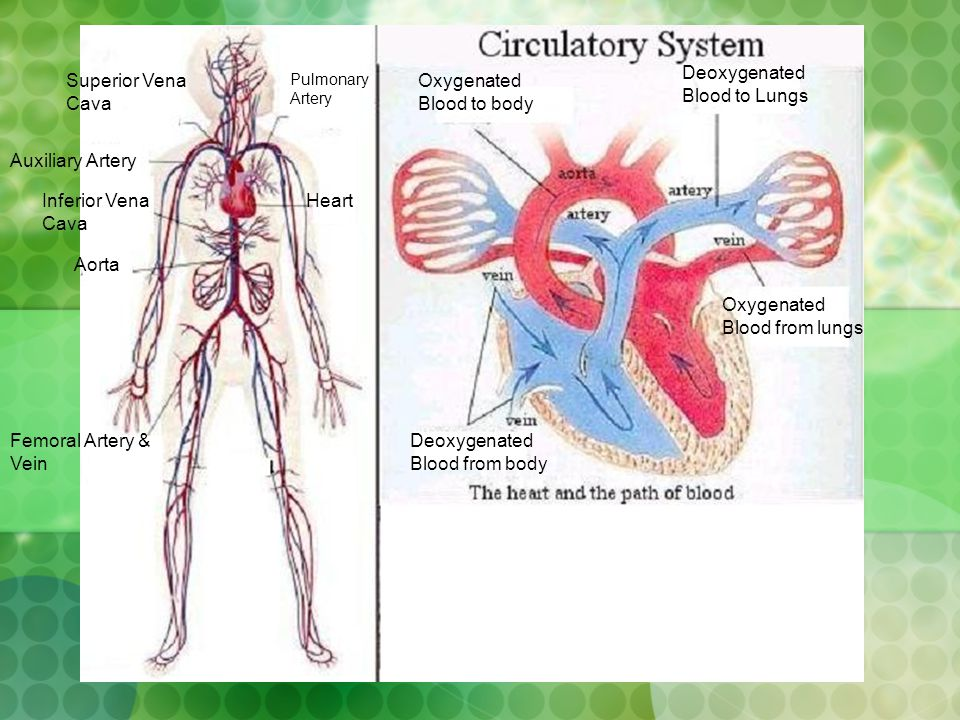 Deoxygenated Blood to Lungs Superior Vena Cava