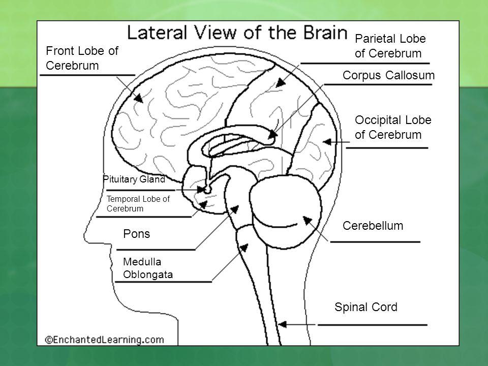 Parietal Lobe of Cerebrum Front Lobe of Cerebrum