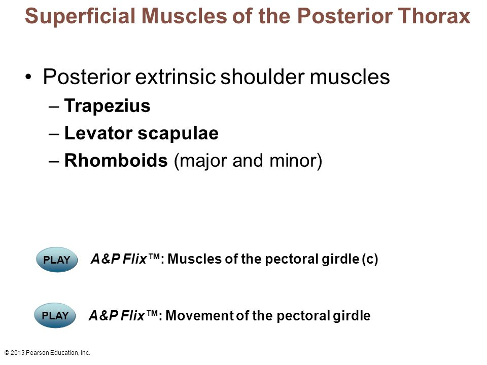 Superficial Muscles of the Posterior Thorax