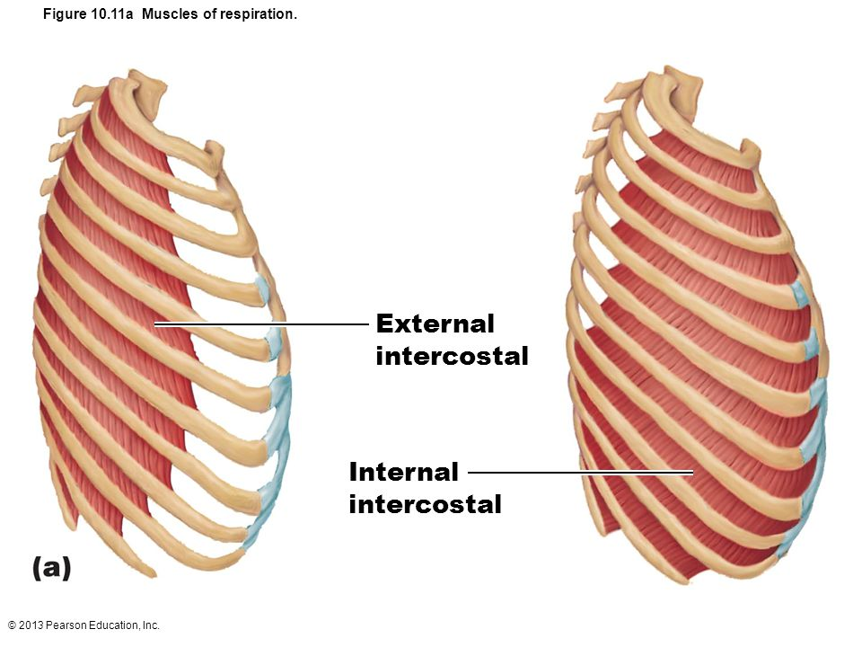 Figure 10.11a Muscles of respiration.