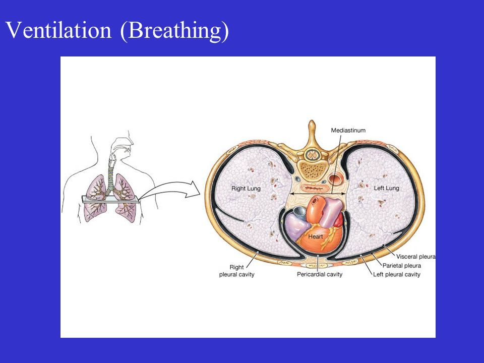 Ventilation (Breathing)
