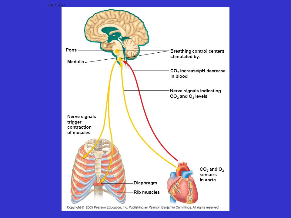 Breathing control centers stimulated by: