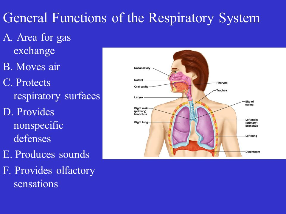 General Functions of the Respiratory System