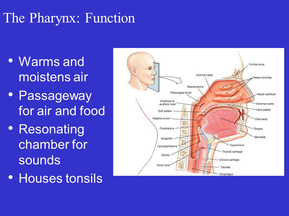 The Pharynx: Function Warms and moistens air