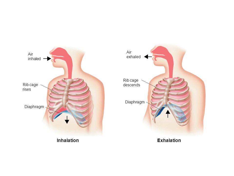 Figure 37-16 The Mechanics of Breathing